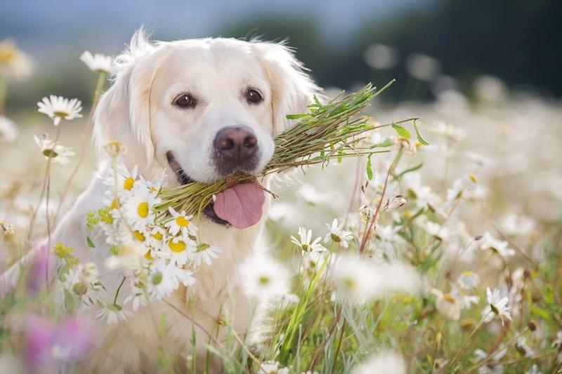 Closeup portrait of young beautiful dog breed Golden Retriever